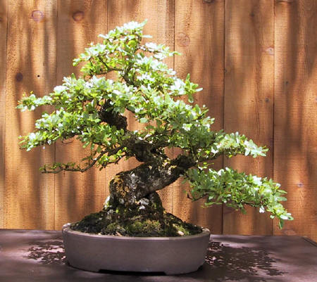 In 1991 He Moved His Family And Nursery To North Central Florida So Would Be Able Grow Anese Maples Trident